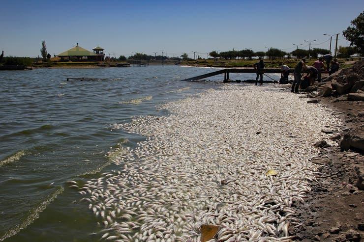 Se trató principalmente de pejerreyes (Odontesthes bonariensis), que ocupaban una franja de cientos de metros de largo y al menos 2,50 metros de ancho en la costa norte de la laguna