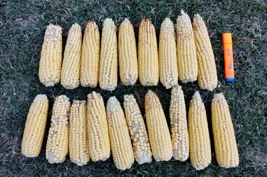 Maíz con deficiente formación de granos