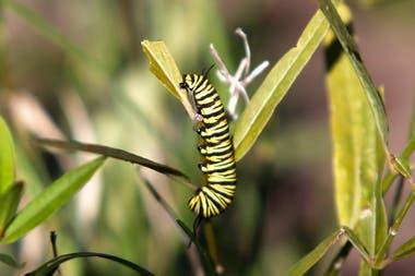 La metamorfosis de la oruga en mariposa consta de cuatro etapas: huevo, oruga, crisálida y mariposa