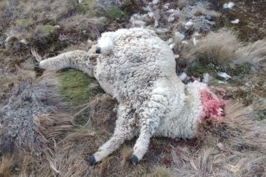 Los productores encuentran ovejas muertas a diario