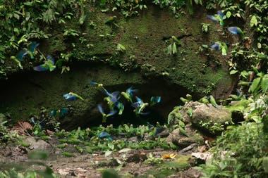 A los loros barranqueros se los ve fácilmente en los acantilados de la playa El Cóndor, en Río Negro