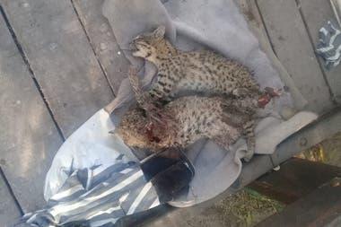 Los gatos del monte estaban siendo cuidados para ser devueltos a su hábitat: los degollaron