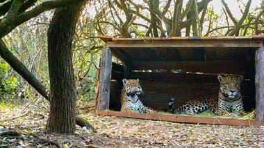 El proyecto fue llevado a cabo en el El Impenetrable, por la Fundación Rewilding Argentina junto a la provincia de Chaco y la Administración de Parques Nacionales.