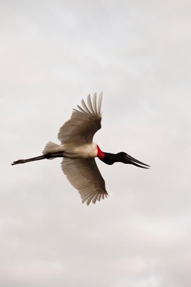 Los jabirús vuelan sobre los champales del Bañado La Estrella, en Formosa