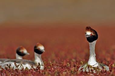 El macá tobiano, un ave en peligro crítico de extinción