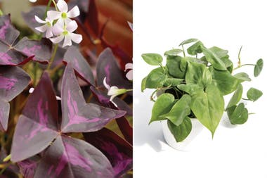 Izq: Oxalis. Der.: Philodendron