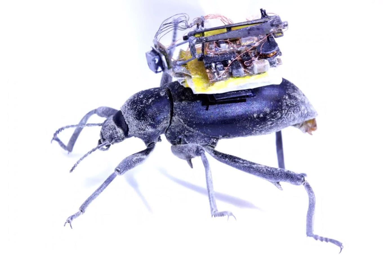 Insectos espía: prueban en escarabajos una cámara robótica al estilo GoPro