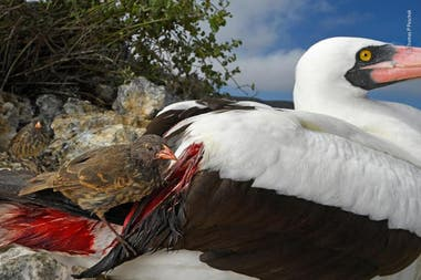 Categoría Comportamiento de aves: Thomas P Peschak (Alemania-Sudáfrica), un pinzón terrestrte bebe sangre de otra ave por la falta de alimento