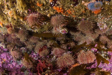 Los erizos Loxechinus albus se alimentan también de algas