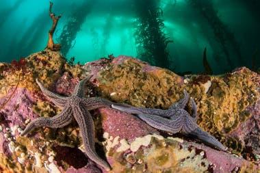 Estrellas de mar se extienden sobre una roca cubierta de algas coralinas incrustadas, estos invertebrados se alimentan de esponjas y otros animales en el fondo del mar