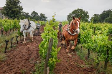 Como hace 400 años, los viñedos de Château le Puy, en Burdeos, siguen siendo trabajados con caballos