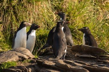 Aves marinas como el pingüino de penacho amarillo realizan viajes de alimentación desde las colonias de anidación en la Isla de los Estados hasta las aguas al este de la isla y Cuenca de los Yaganes