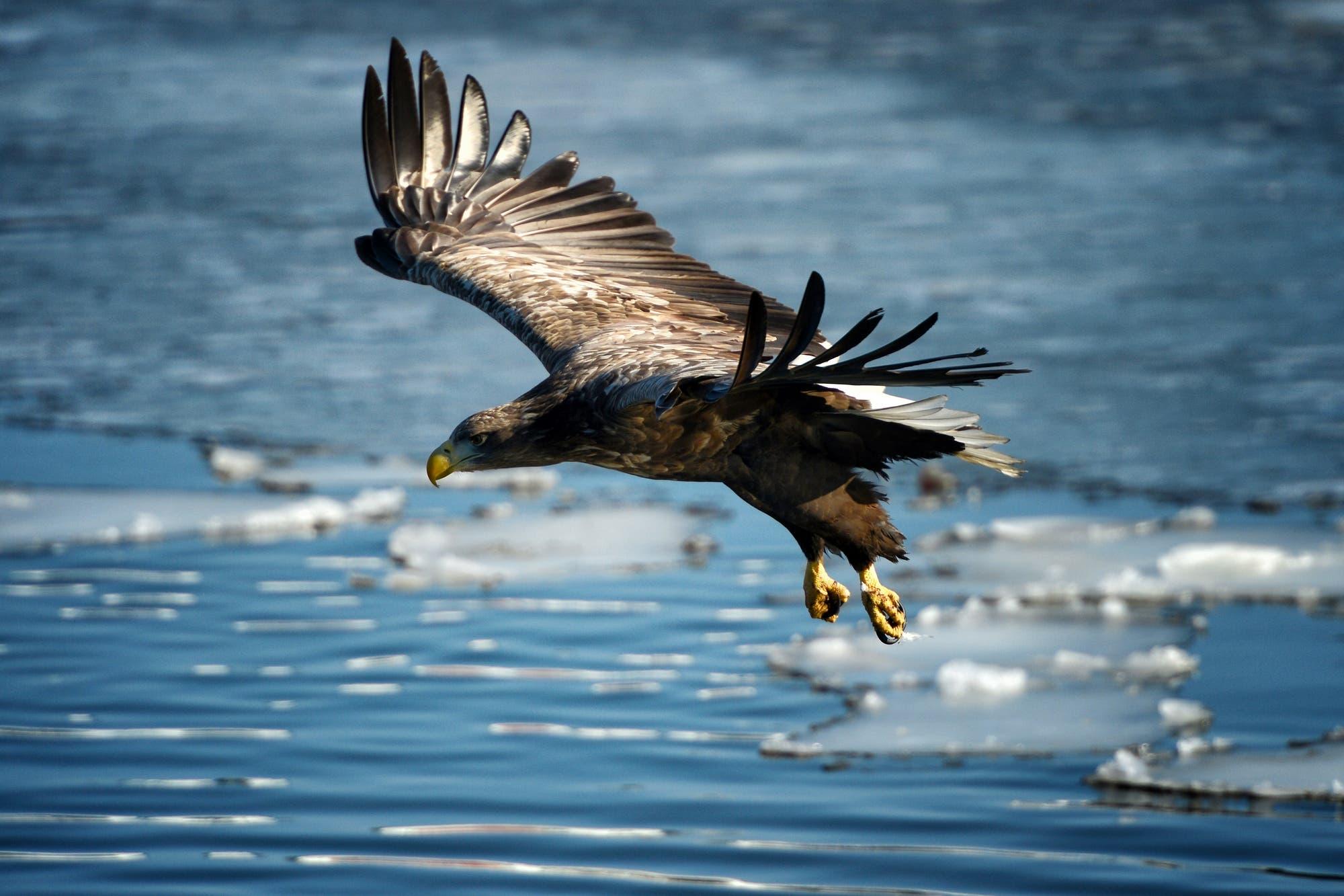 Un inesperado vuelo migratorio de un águila dejó sin fondos a científicos rusos por el costoso cargo de roaming