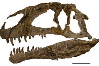 Asfaltovenator Vialidadi Hallaron En La Patagonia Uno De Los Mas Antiguos Y Completos Dinosaurios Carnivoros Del Jurasico La Nacion Los dinosaurios se clasifican según como tenian su cadera, por lo que tenemos dos tipos de dinosaurios todas las especies de ornitomímidos poseían un pequeño cráneo y huesos ligeros. asfaltovenator vialidadi hallaron en
