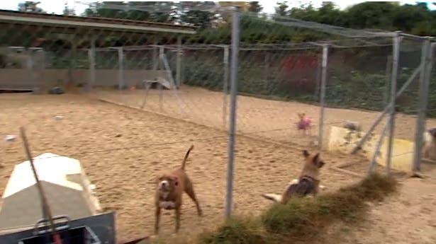 España: dos perros mataron a una mujer y a su hija que intentó ayudarla