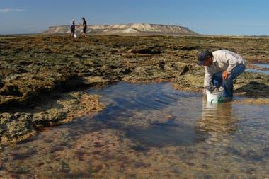 La pesca de pulpitos patagónicos en la zona de Islote Lobos se sigue realizando de manera artesanal, como en tiempos prehispánicos