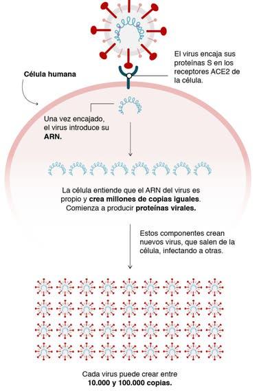 Cómo se reproduce el virus en el cuerpo