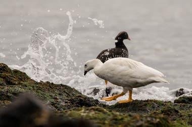 Además de ser una zona de anidación, las aguas colindantes a la Isla de los Estados son una importante zona de alimentación para aves marinas
