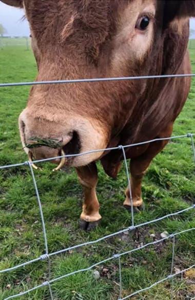 Ron, el toro de cuatro años que sació su picazón con un poste de luz y dejó a 800 casas sin electricidad