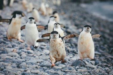 La fauna local, como los pingüinos, se aprecian desde muy cerca en la Antártida