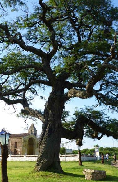 Este algarrobo cordobés, ubicado en la localidad de Ischilin es casi tan famoso como la iglesia del pueblo.