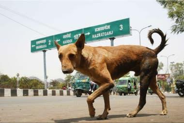 Un perro callejero camina por los caminos de Lucknow, Uttar Pradesh