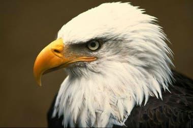 El ave atacó el dron de 950 dólares. Fuente: National Geographic
