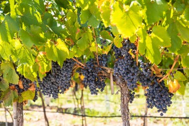Las tintas, igual que el resto de las uvas de la vendimia de 2018, auguran vinos de calidad