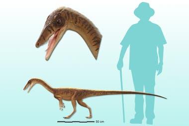 Este dinosaurio era bien pequeño, llegó a tener unos dos metros de largo y no pesaba muchos más de 10 kilogramos