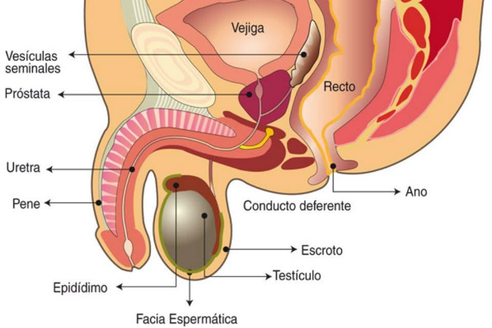 que es la prostata de los hombres