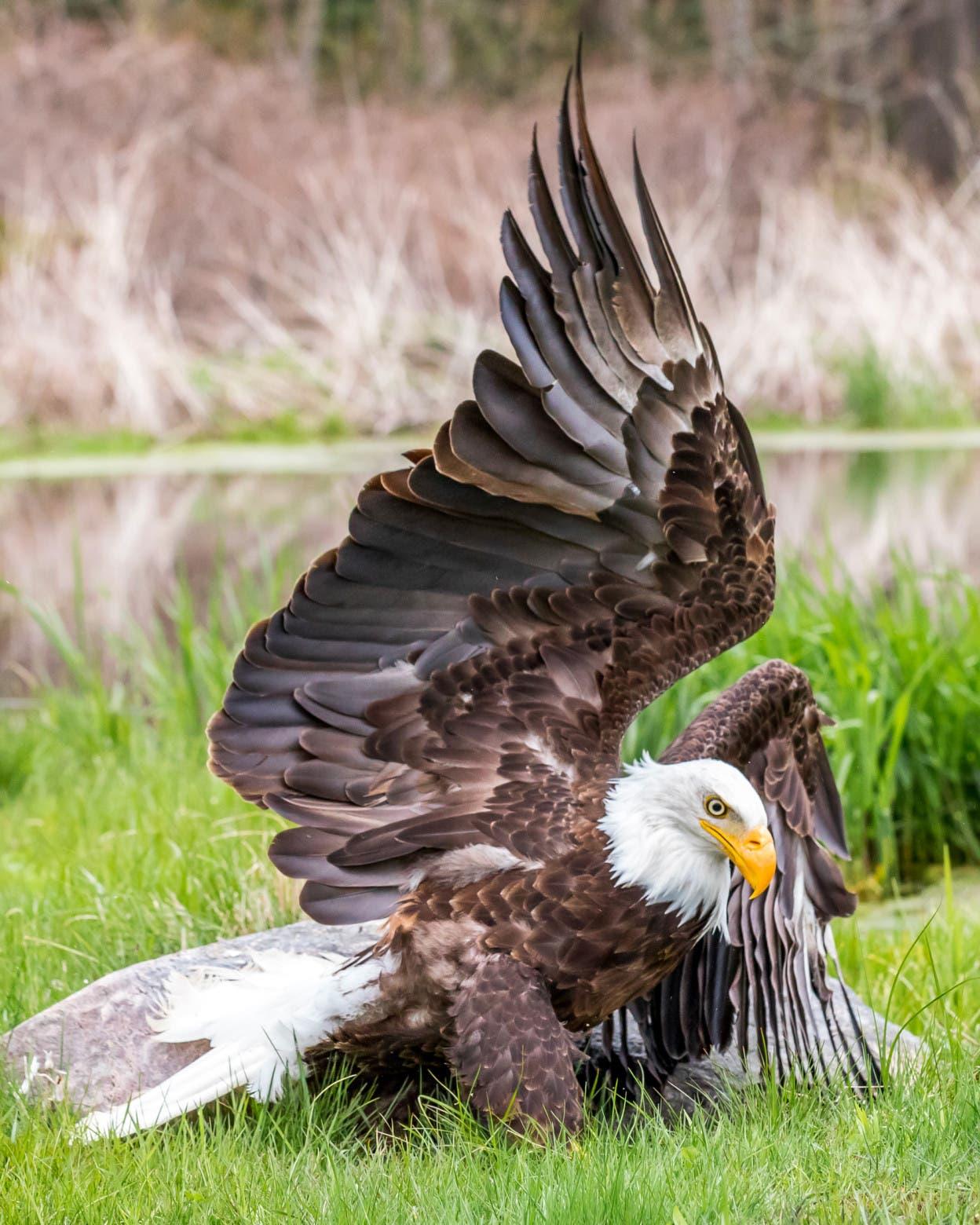 La increíble imagen de una majestuosa águila calva del canadiense Steve Biro