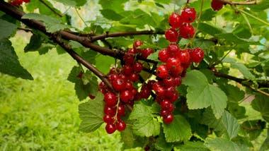 Al destacarse sobre las hojas verdes, las frutas rojas son más fáciles de encontrar.
