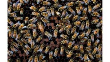 Alarmante ataque: abejas mataron a tres perros en Estados Unidos