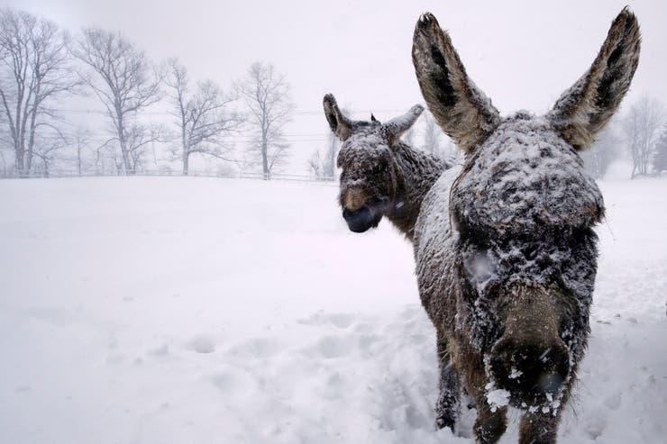 Los animales de la región se ven cubiertos de nieve