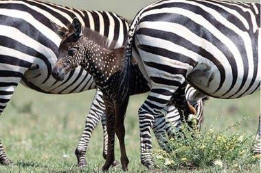La cebra llama la atención por su rara pigmentación