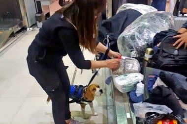 Uno de los perros entrenados que utiliza el personal de Senasa