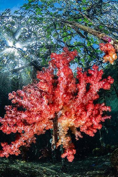 """Segundo puesto: """"Coral blando de manglar"""" tomada en Raja Ampat, Indonesia por Nicholas More"""