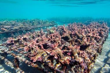 """Cuarto premio: """"Fragmentos de coral Acropora Robusta en el vivero de coral Ocean Gardener"""" tomada en East Bali, Indonesia, por Nicole Helgason"""