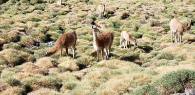 La provincia cuyana pide la intervención del Conicet u otro organismo científico para saber si se están afectando las poblaciones de guanaco en el país