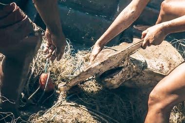 Un tiburón martillo, especie en extinción, atrapado en una red de pesca