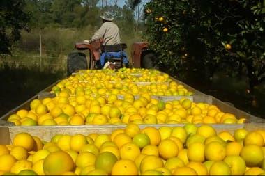 Los citrus y las nueces de pecan de la quinta van al mercado interno