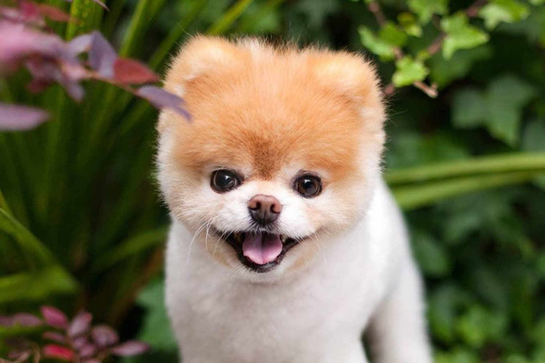 """Murió Boo, el perro """"más lindo del mundo"""""""