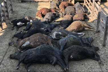 Hundreds of dead animals in the corrals of the Liniers Market