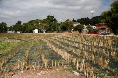 Para la defensa de la costa en el barrio El Ceibo rellenaron con tosca toda una franja e introdujeron una planta extica llamada vetiver