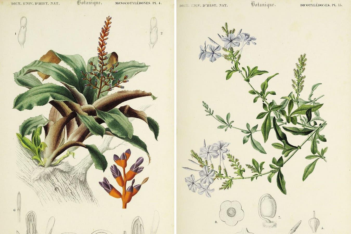 Izquierda: Bromeliáceas, una familia a la que pertenecen el ananá y el clavel del aire. Derecha: Ilustración del Plumbago capensis, jazmín del cielo, que integra la familia de las Plumbagináceas.