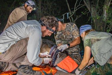 El equipo de Rewilding en El Impenetrable coloca un collar de monitoreo con conexión satelital a un tapir.