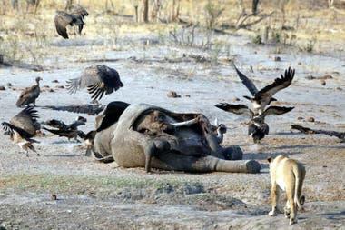 Autoridades de Botsuana confirmaron que investigan la muerte de los elefantes provocada por una enfermedad desconocida