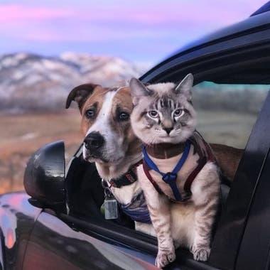 A Baloo le ponen un arnés para llevarlo en las caminatas y sus dueños aseguran que le gusta explorar tanto como a Henry.