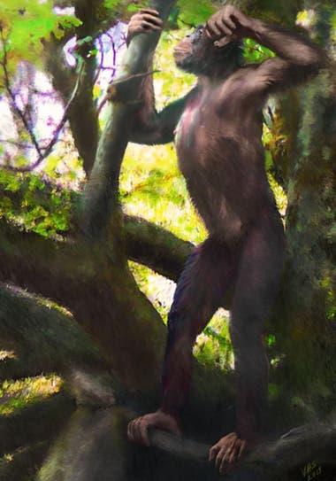 El hallazgo indica que los primates comenzaron a caminar erguidos en los árboles, antes de llegar al suelo