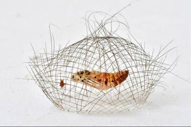 La oruga teje su jaula antes de comenzar su metamorfosis